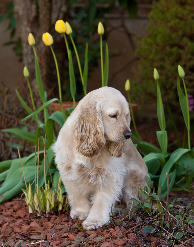 Lizzie amongst the tulips