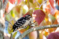 Immature Downy Woodpecker